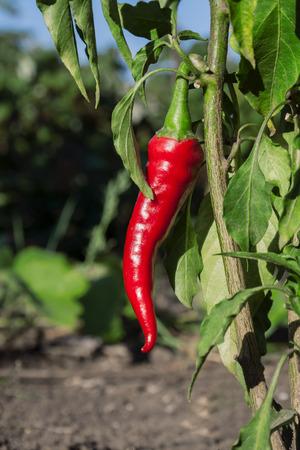bush pepper: Red hot pepper on the bush in the garden