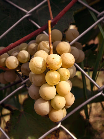 Bunch of ripe white grapes on a bush Stock Photo