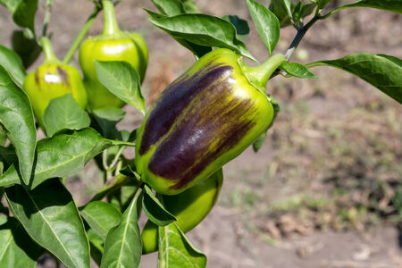 bush pepper: Bush with fruits ripe sweet green pepper