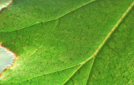 villi: Part of a large green leaf a one plant
