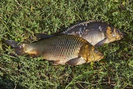 grass carp: Two fresh fish in the green grass