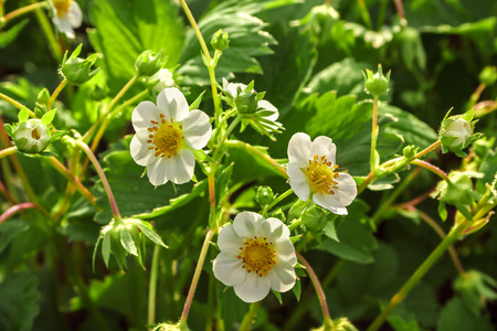 Several flowers blossoming strawberry on a background of green leaves