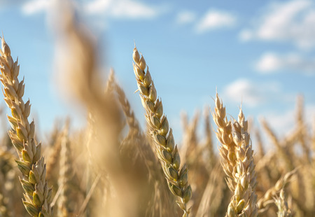 Ears of wheat with a shift in focus against a blurred blue cloudy sky