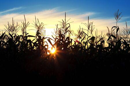 corn stalks: Silhouettes of corn stalks into the sunset