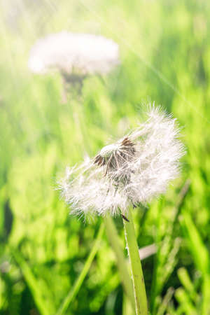 fuzz: Two fluffy dandelion on a sunny day
