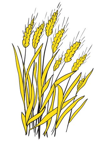 grain fields: Illustration of spikes of ripe wheat on a white background