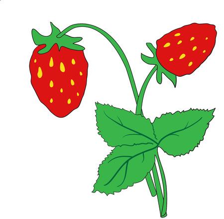 Illustration of  bush of ripe strawberries on a white background Illustration