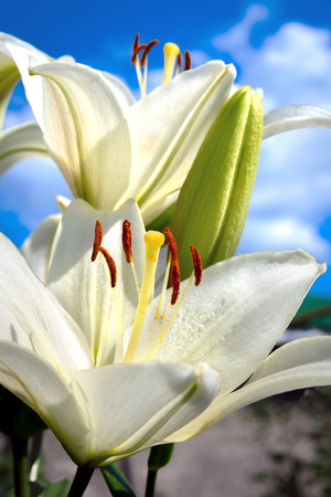 Flowers and buds of white lily close up