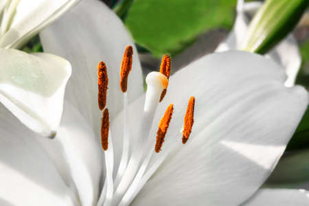White lily closeup on a blurred background Stock Photo
