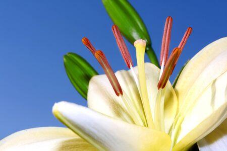 Light lily closeup on a blue background
