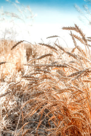 The stylized image of golden wheat in a bright sunny day