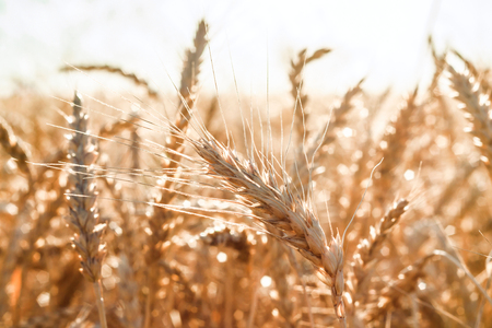 Black and white ear of wheat in a field