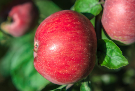 Ripe red apple on a branch close-up