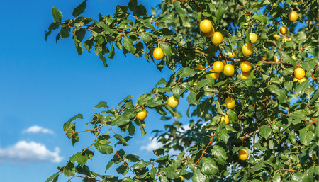 A branch of ripe yellow plum on a background of blue sky Stock Photo