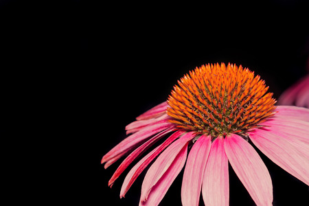 Flower of pink Echinacea closeup on a dark background Stock Photo
