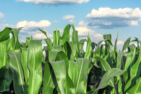 Stems of corn isolated on a light background