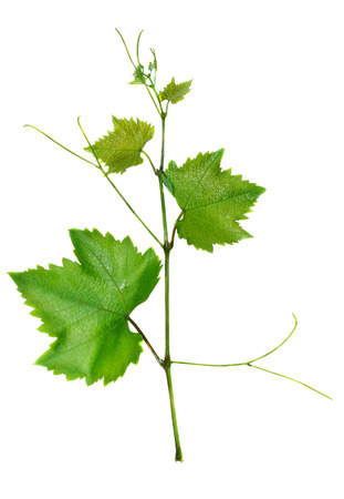 Vine and leaves isolated on white background