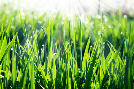 Grass with dew drops and bokeh effect from the suns rays