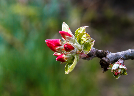 Buds of apple tree flowers close-up on a blurred background 免版税图像