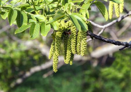 Blooming walnut with flowers earring walnut hazel Archivio Fotografico - 126202394