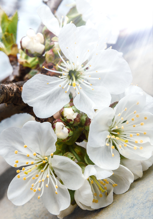 Flowers of the cherry blossoms in the sun close-up Stockfoto