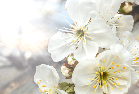 Flowers of the cherry blossoms in the sun close-up Archivio Fotografico - 126202409