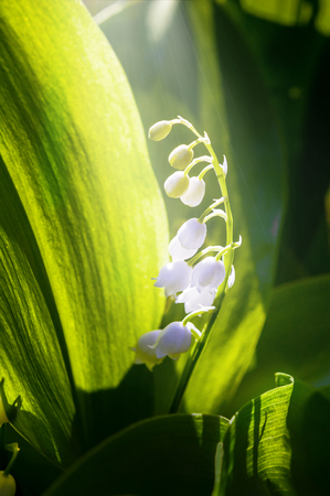 White lily of the valley in the sunbeam