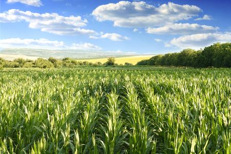 Landscape of a blue cloudy sky over a corn field