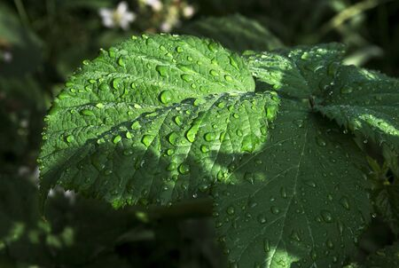 Natural background of three green leaves with water drops close up Stok Fotoğraf