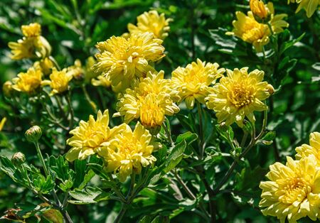 Blooming yellow chrysanthemums on a sunny day