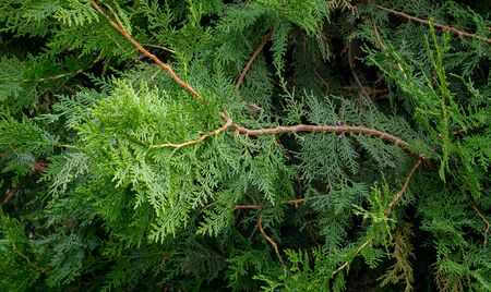 Natural background from the branches of an evergreen shrub Фото со стока