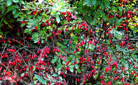 Bush with ripe berries of barberry close up