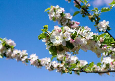 Blooming apple tree branch on a sunny day against a blue sky 写真素材