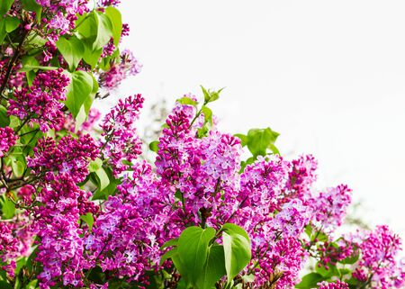 Bush of blooming lilac on a light background