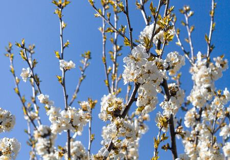 Flowering cherry branch on a sunny day against a blue sky