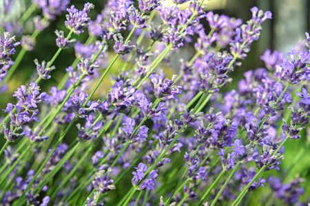 Background from stalks of blooming lavender close up