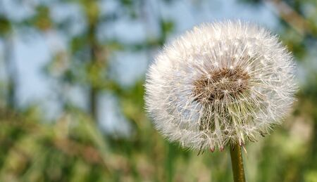 One white fluffy dandelion on a blurred grassy background