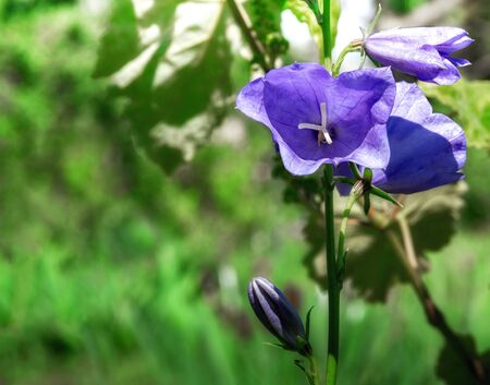 Blooming blue bell on a blurry background close-up 写真素材