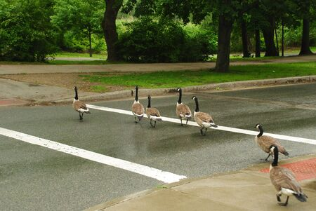 massachussets: Family of ducks crossing the street in a rainy day at Boston