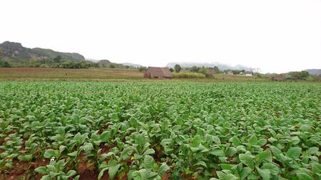 Tobbaco Fields at Vi? ? ales, Cuba, in a cloudy day Stock Photo