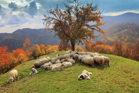 lambs in the autumn in the mountains,Transylvania photo