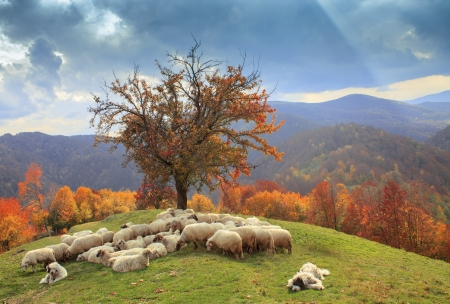 lambs in the autumn in the mountains,Transylvania photo