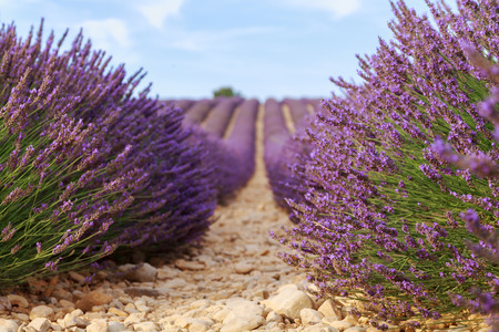 fragrant: Beautiful fragrant lavender fields of Provence, France