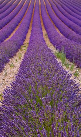 espliego: Campos de lavanda fragantes hermosas de la Provenza, Francia