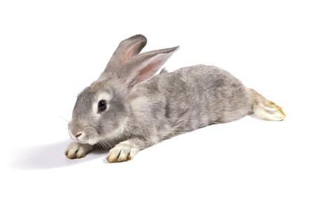 isolated on gray: Grey rabbit on white background
