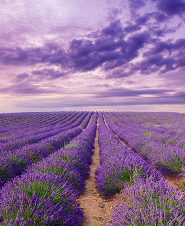 lavander: Beautiful colors purple lavender fields near Valensole, Provence in France Stock Photo