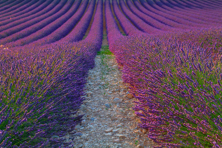 lavendin: Beautiful colors purple lavender fields near Valensole, Provence in France Stock Photo