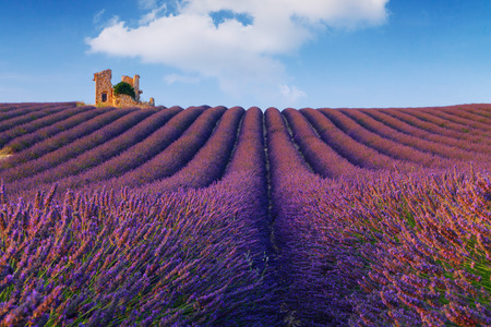 herbs de provence: Beautiful colors purple lavender fields near Valensole, Provence in France Stock Photo