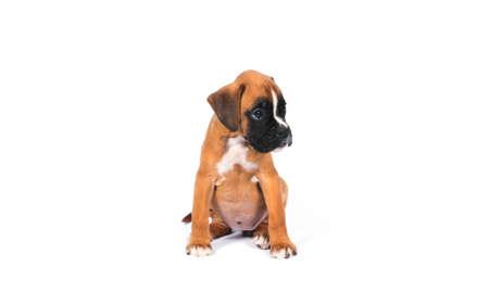 k9: Boxer puppy dog on white background