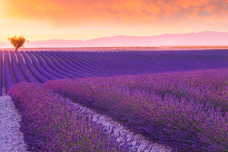 Violet  lavender bushes.Beautiful colors purple lavender fields near Valensole, Provence in France, Europe Stock Photo